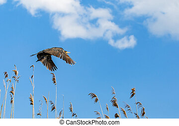 Flying cormorant under the blue sky