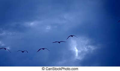 flying cormorants on blue background