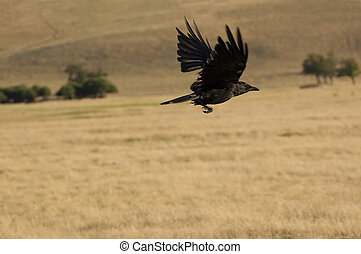 Flying Crow - crow flying across field