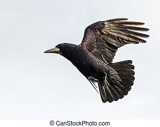 Flying crow  - Photo of black crow flying with spread wings