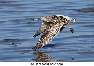 Flying Curlew at Sharm el-Sheikh beach of Red Sea