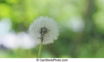 Flying dandelion seeds on blurred bokeh grass background in slow motion.