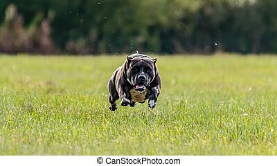 Flying dog in the field on lure coursing competition