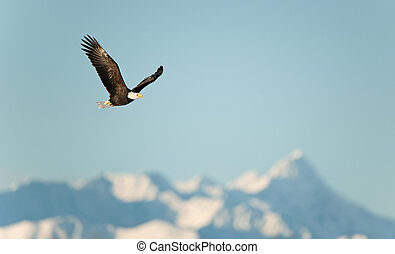 Flying eagle over snow-covered mountains.