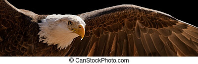 flying eagle - Bald eagle taking flight