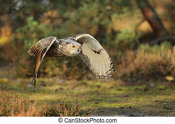 Flying Eurasian Eagle owl in forest during autumn. Wildlife ...