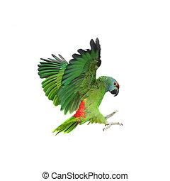 Flying festival Amazon parrot on white - Flying festival...