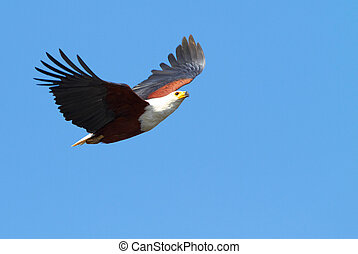 Flying Fish Eagle - Fish eagle in flight