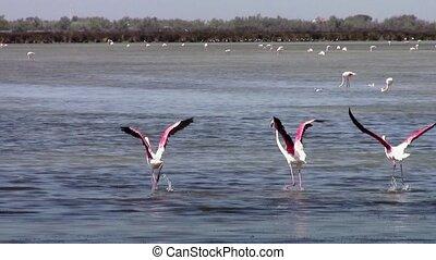 flying flamingos - pink flamingos colony