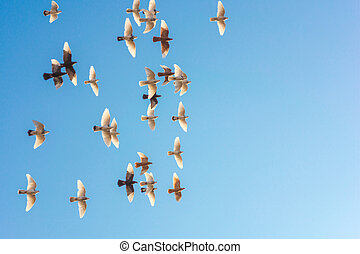 Flying Flock Of Pigeons Shot From A Low Angle, Beatiful Blue...