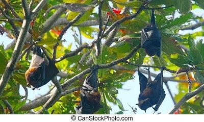 Flying fox hangs on a tree branch - Lyle's flying fox...