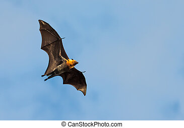 flying fox, huge bat, against blue sky