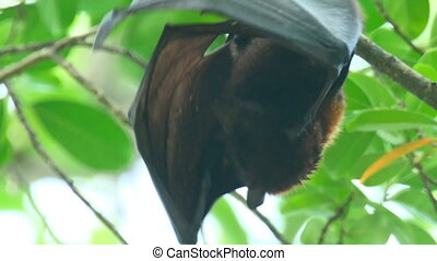 Flying fox - Lyle's flying fox (Pteropus lylei) washes, ...