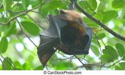 Flying fox - Lyle's flying fox (Pteropus lylei) eating fruit