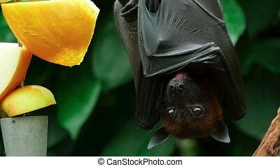 Flying fox - Lyle's flying fox (Pteropus lylei) eating...