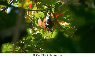 Flying fox washes on tree - Lyle's flying fox (Pteropus...