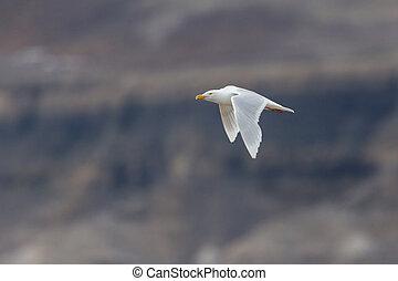 flying glaucous burgomeister gull (Larus hyperboreus), rocky...