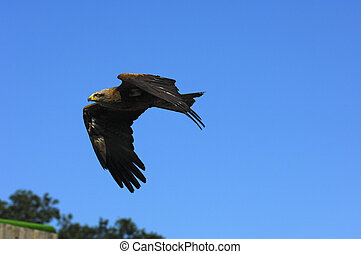 Flying Golden Eagle (Aquila chrysaetos)