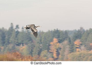 great blue heron - flying great blue heron at BC Canada