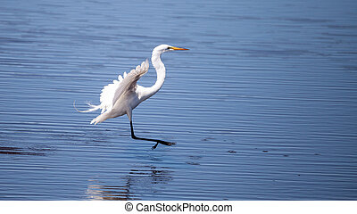 Flying Great egret bird Ardea alba
