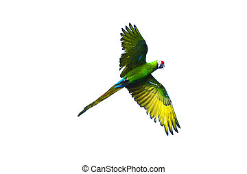 Flying green parrot isolated on white background