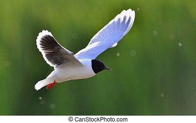 Black-headed Gull (Larus ridibundus) in flight on the green grass background. Backlight