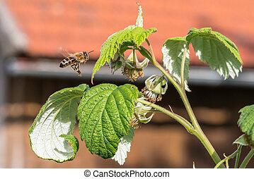 Flying Honey bee on blooming raspberry flower