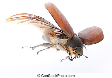 scarab may beetle - flying insect scarab may beetle isolated...
