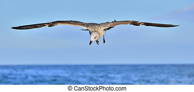 Kelp gull (Larus dominicanus) - Flying Juvenile Kelp gull...