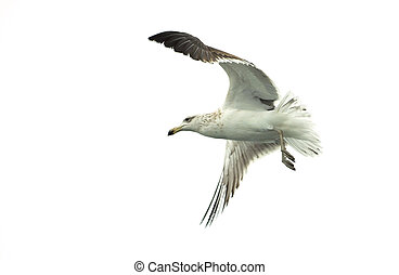 Flying kelp gull (Larus dominicanus), also known as the...