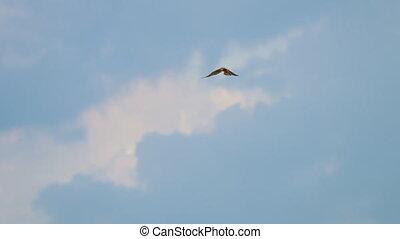 Flying Lesser Kestrel at sky background in Airport