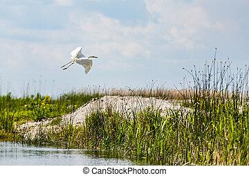 Flying little egret in Danube Delta