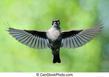 Flying male Pied Flycatcher - Male Pied Flycatcher (Ficedula...