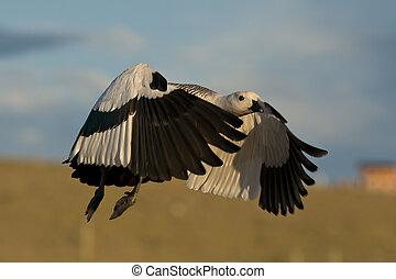 Flying Male Upland Goose