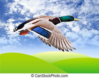 Flying mallard drake