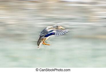 flying mallard duck