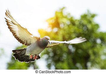 flying mid air of homing speed racing pigeon bird