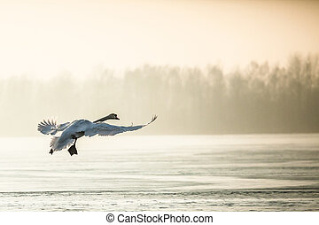 Flying mute swan in winter time