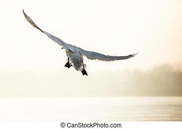 Flying mute swan in winter time