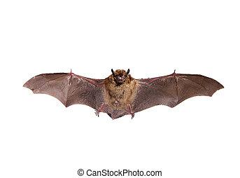 Flying Northern bat on white. - Flying Northern bat,...