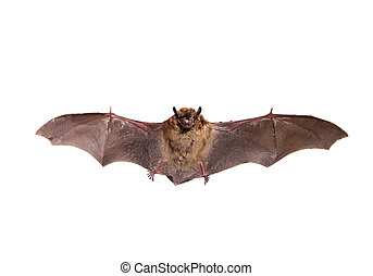 Flying Northern bat on white. - Flying Northern bat,...