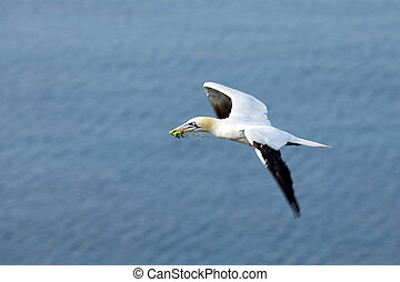 Flying Northern gannet (Morus bassanus) with nesting material in the bill, with blue sea water in the background, Helgoland island, Germany.
