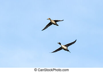 Northern Pintail - flying Northern Pintail duck