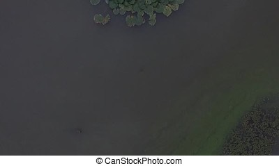 Flying over beautiful flower and leaves in swamp. Aerial flower and leaves in lake. Green swamp where the plant floats
