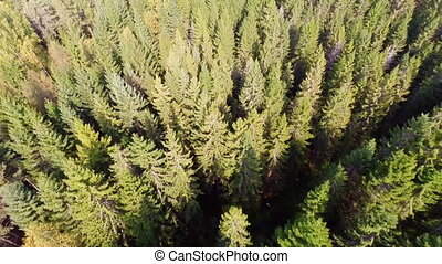 Flying over forest - Camera flying above a large spruce...