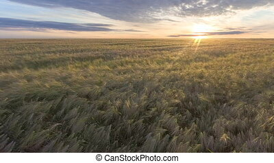 Flying over golden wheat field at beautiful summer sunset....