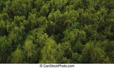 Flying over green tree tops in birch grove. Aerial drone shot of a summer park