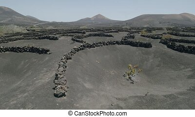 Flying over Lanzarote landscape with La Geria grapes, groing in volcanic ashes. Canary Islands