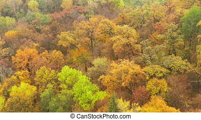 Autumn yellowed foliage on trees in the deciduous forest - Flying over yellow and orange trees in the autumn forest with a forester house - Drone shot - ProRes HQ