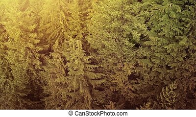 Flying Over Pine Forest At Sunset - Aerial view of pine...